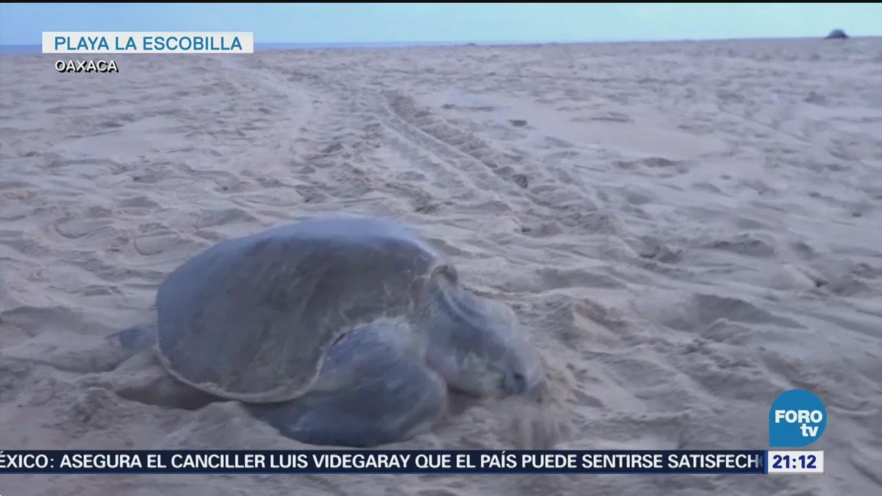Miles De Tortugas Golfinas Llegan Playas De Oaxaca