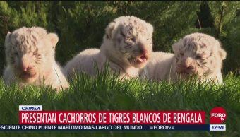 Nacen tres tigres blancos de bengala en Crimea