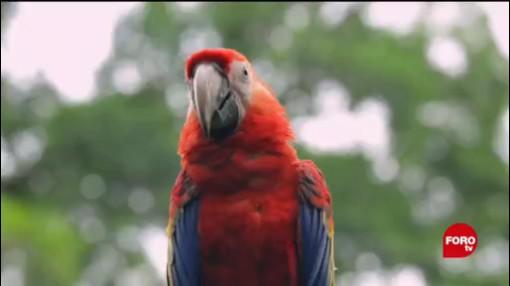 Reintroducción Guacamaya Roja Reserva De La Biósfera De Los Tuxtlas Los Tuxtlas Golfo De México