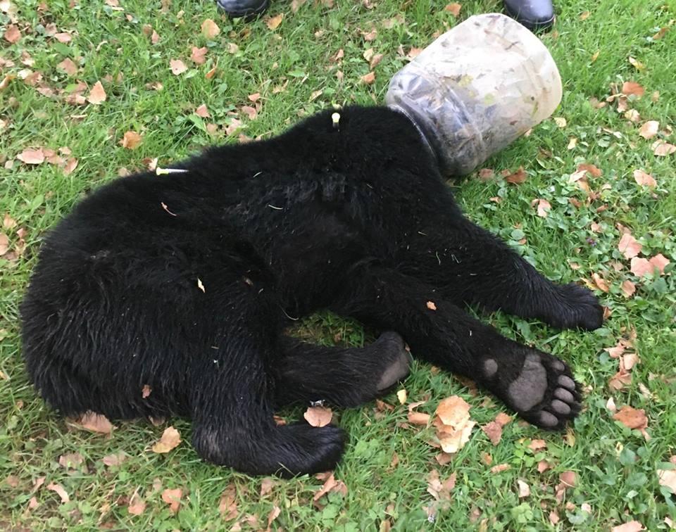 Rescatan Oso Que Pasó Tres Días Con Cubeta Atorada Cabeza, Oso Cubeta Atorada Cabeza, Oso, Osos, Maryland, Estados Unidos