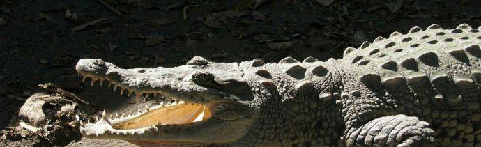 Enorme cocodrilo sorprende en agencia de vehículos en México