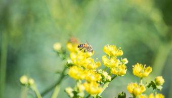 Abejas monitorean cultivos mejor que los drones