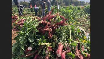 Inicia la cosecha de rábanos en Oaxaca