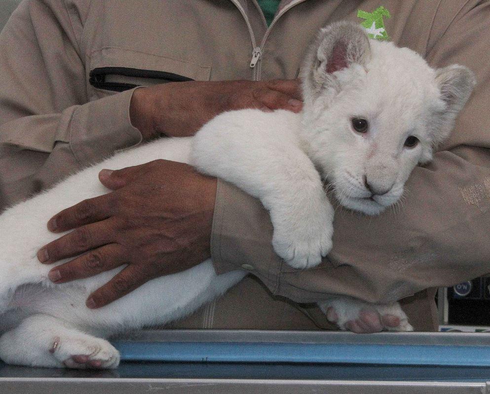 Nace leona blanca en Zoológico de Tlaxcala