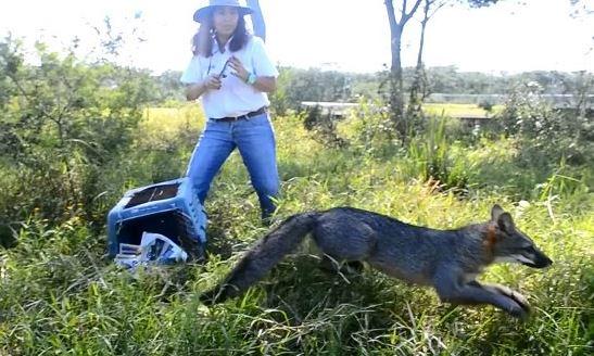 Profepa reincorpora a su hábitat a zorro gris en Colima