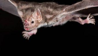 Narcotraficantes de México obstaculizan investigación australiana sobre veneno de murciélago vampiro