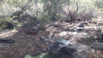 Profepa libera a 2 ejemplares de zorrillo rescatados en Baja California