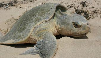 México analiza ADN de tortugas lora para evitar su extinción