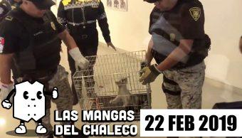 FOTO: Las Mangas del Chaleco: AMLO estrena amuleto, Sheinbaum multichambas y el cacomixtle de Reforma , 22 febrero 2019