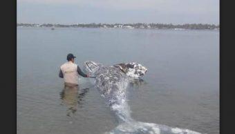 localizan ballena jorobada muerta en navolato sinaloa