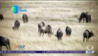 Masái Mara, la gran migración en Kenia