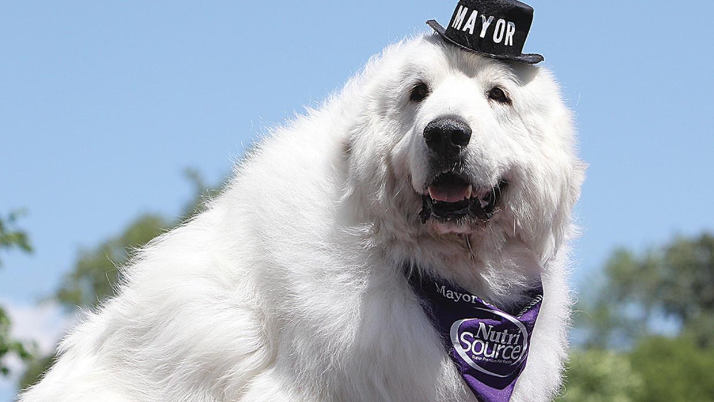 Muere perro que fue reelegido cuatro veces como alcalde