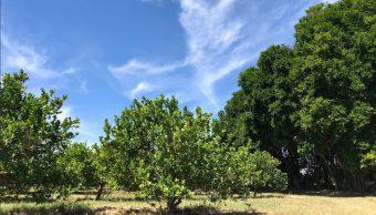 Foto: cosechan nueva variedad de limón 'LISE', 5 de febrero 2019. Twitter @berthareynoso