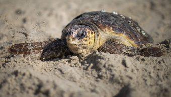 foto Autoridades en alerta por muerte de 101 tortugas en playas de Guerrero