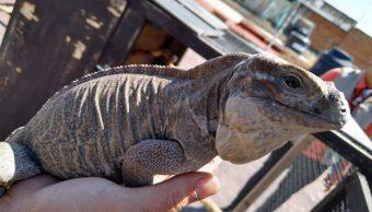 Foto: La iguana cornuda es una especie en peligro de extinción, el 23 de marzo de 2019 (Twitter @PROFEPA_Mx)