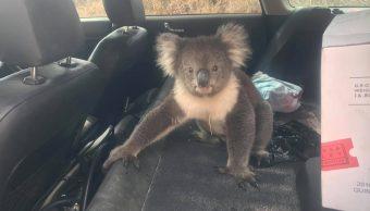 foto Koala acalorado se refugia en carro con aire acondicionado 18 marzo 2019