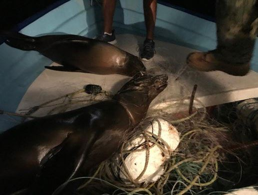 crias de lobos marinos mueren atrapados en red de pesca en bcs