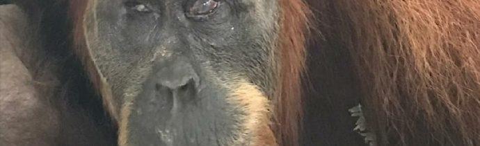 El rescate de 'Hope', la orangutana acribillada con 74 perdigones en Indonesia