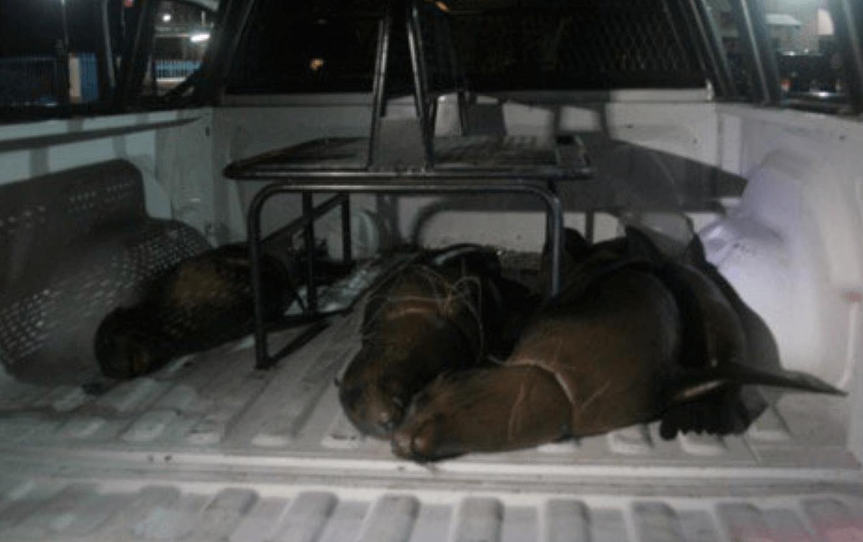 FOTO Profepa presenta denuncia penal ante la Fiscalía General de la república por la muerte de 4 lobos marinos en BCS (Profepa bcs 8 marzo 2019