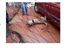 Resguardan a puma en vivienda en San Luis Potosí