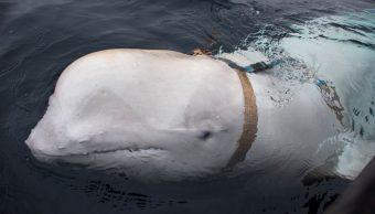 Beluga con arnés militar ruso aparece en aguas de Noruega