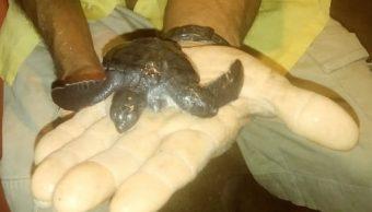 Encuentran viva a tortuga con dos cabezas en Michoacán