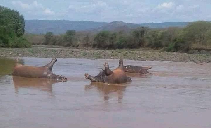 Foto: Hipopótamos muertos en el Parque Nacional de Gibe Sheleko, en Etiopía. El 22 de abril de 2019