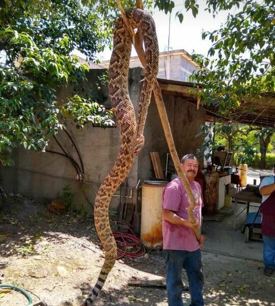 Foto: Una víbora de cascabel gigante apareció en la comunidad de El Palmito.