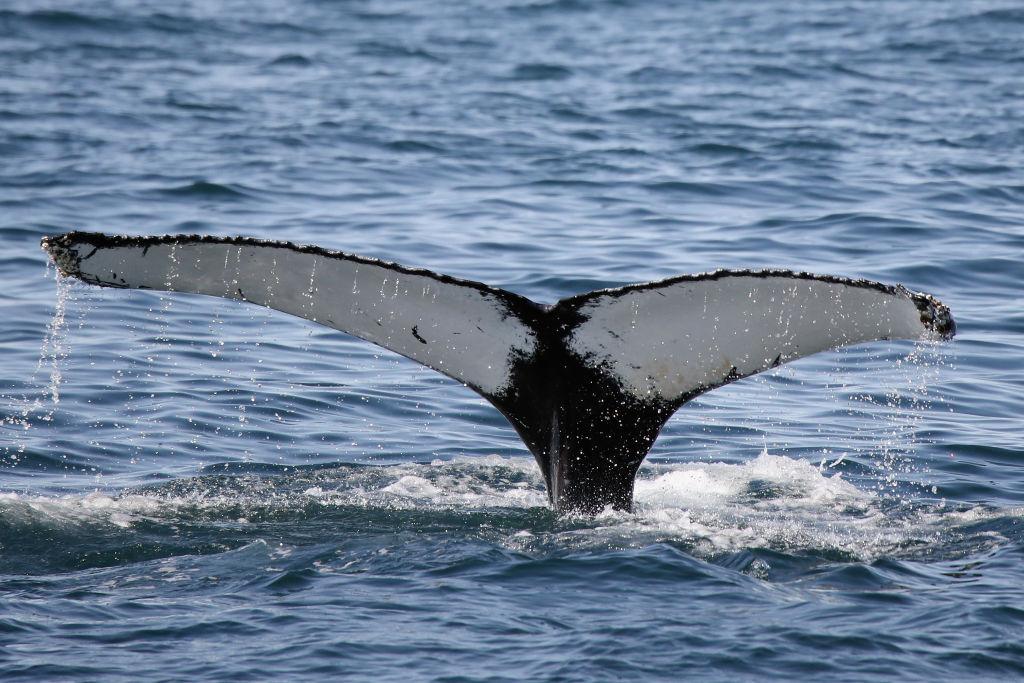foto ¿Ballenas con patas? Así eran hace millones de años 22 de julio de 2017
