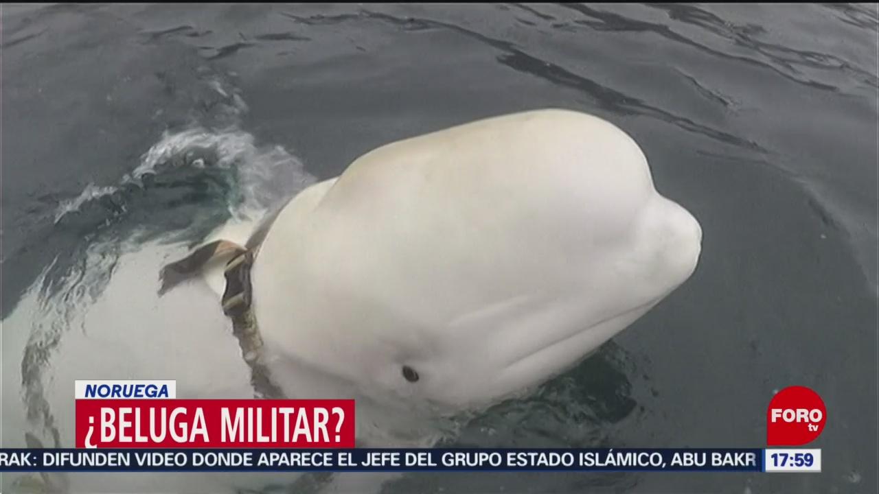 Hallan beluga 'militar' en Noruega