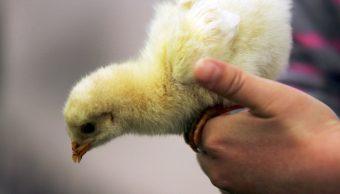 Foto Niño atropella a pollo y usa sus ahorros para salvarlo 9 abril 2019