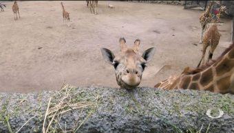 Foto: Jirafa bebé nacida en Zoológico de Chapultepec busca nombre