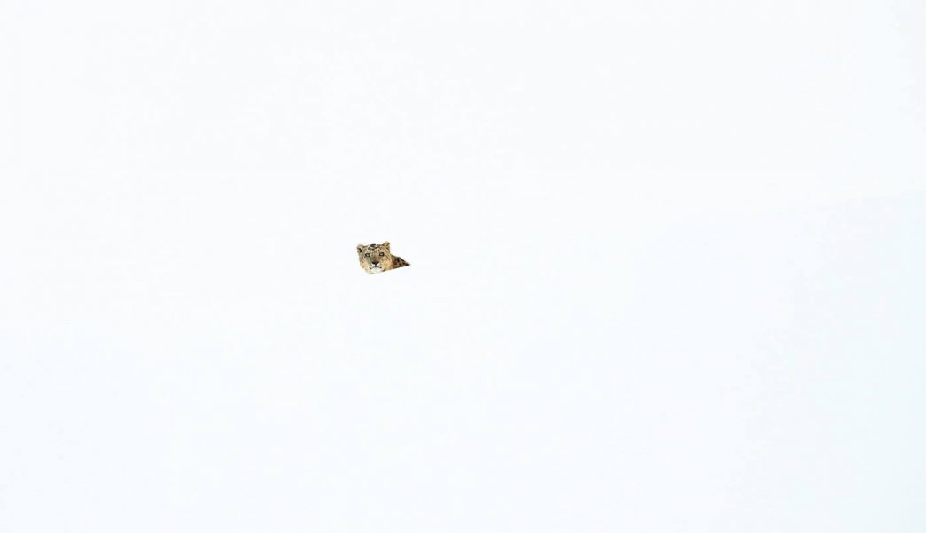 foto El arte del camuflaje del leopardo de las nieves 10 abril 2019