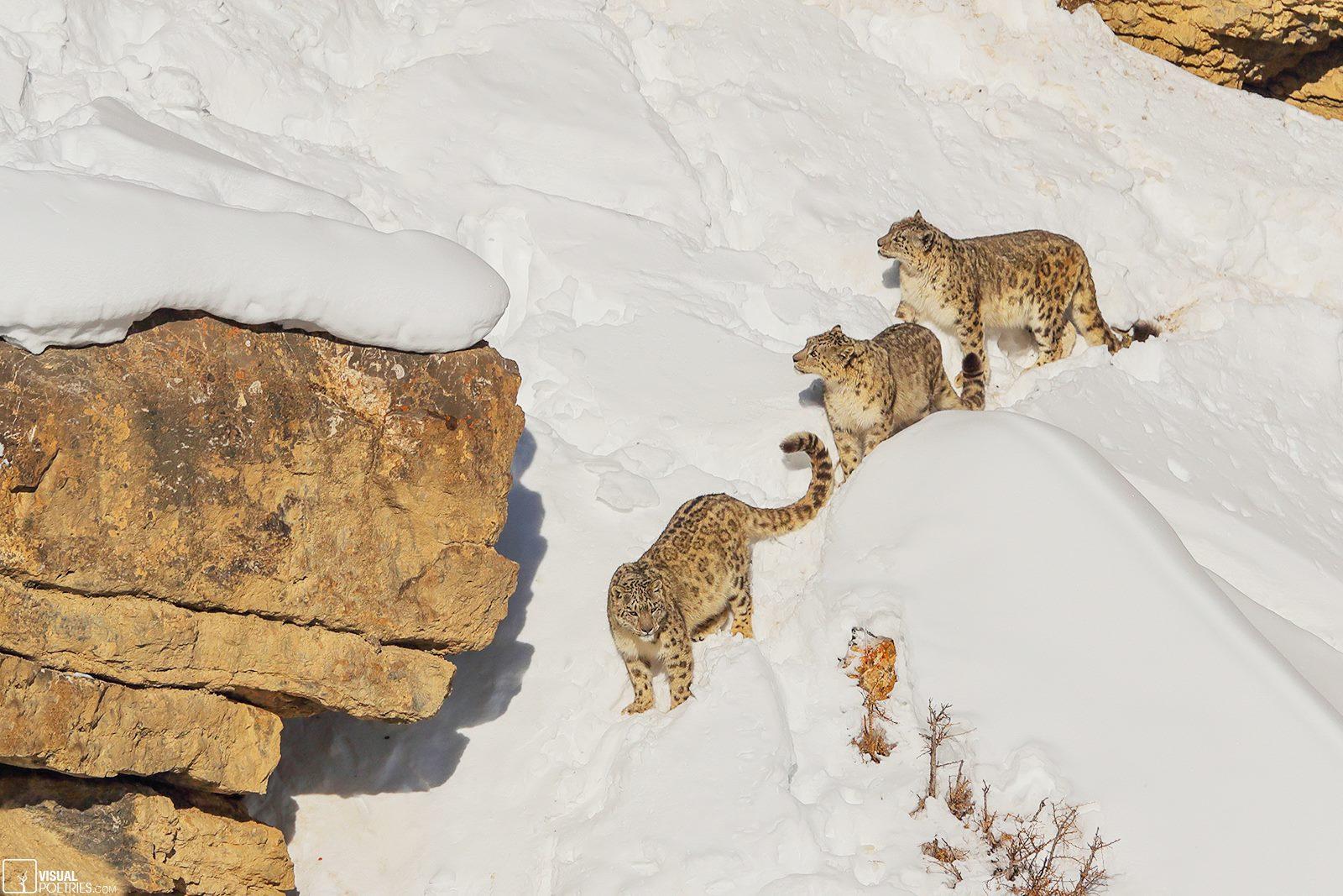 foto leopardo de las nieves el arte del camuflaje 4