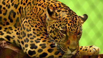 Foto Jaguar Inseminación Artificial 6 Abril 2019