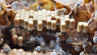 Foto: apicultores de Yucatán cosechan miel de colmenas inmersas en bosques tropicales, 20 de mayo 2018. Twitter @CONAFOR