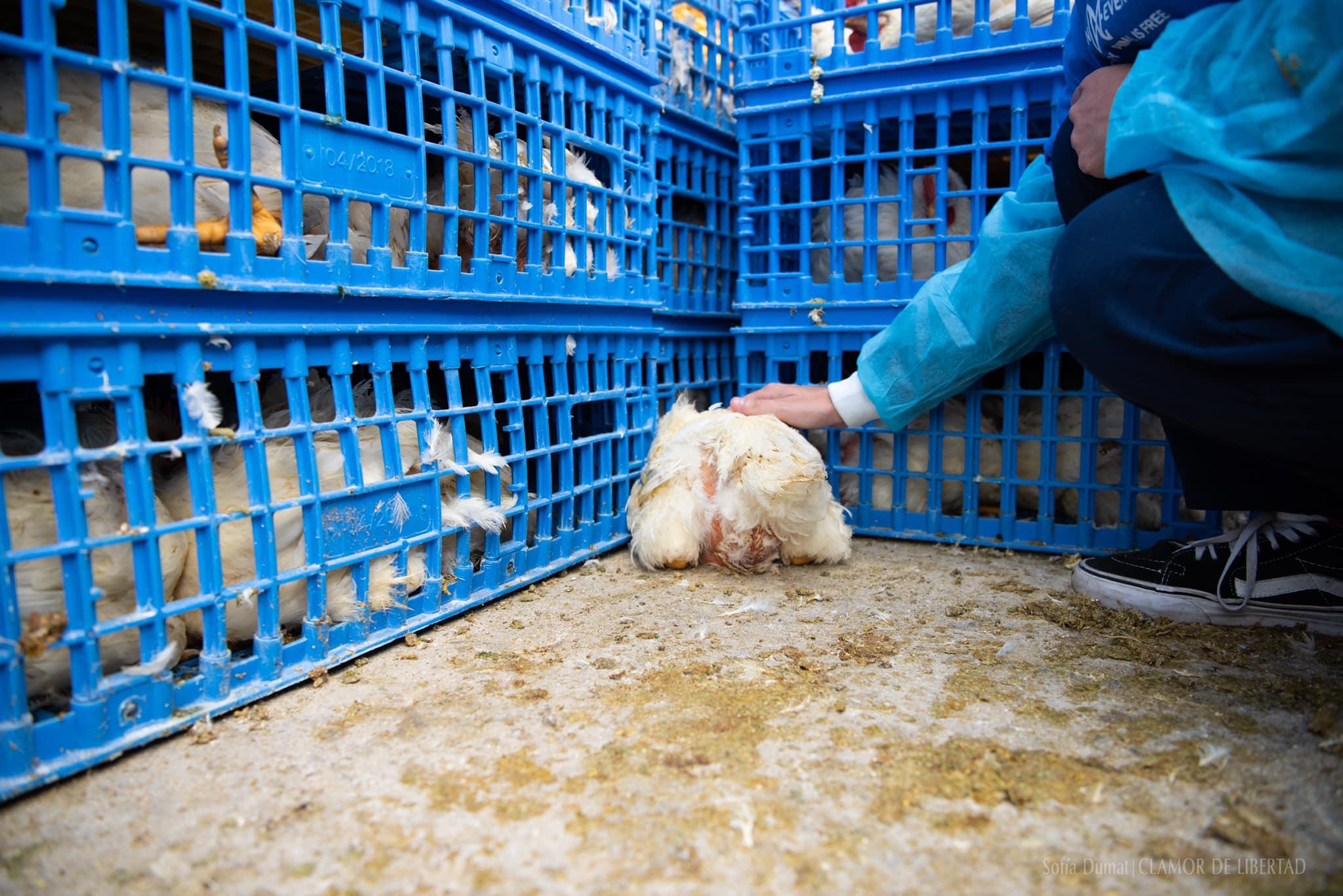 foto Activistas exigen frenar matanza de aves para consumo 27 abril 2019