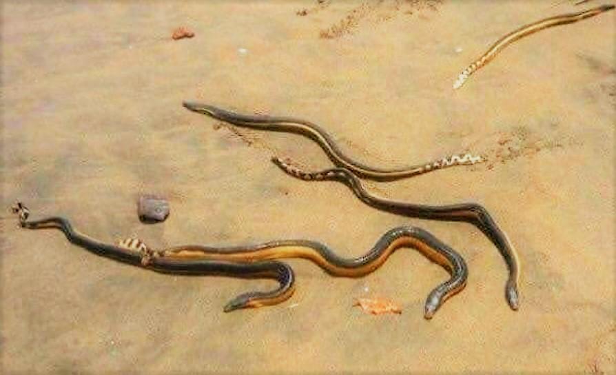Cierran playa por ataque de serpientes en Nayarit; mordieron a seis turistas