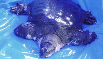 Muere la última tortuga hembra de caparazón blando