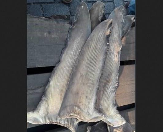 Foto: Aleta de tiburón en Manzanillo, Colima, 27 de marzo 2019. Twitter @SATMX