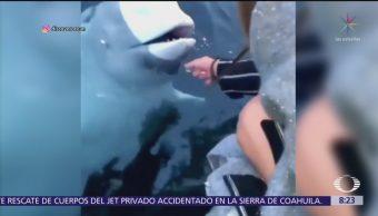 Ballena beluga rescata celular de joven y lo devuelve