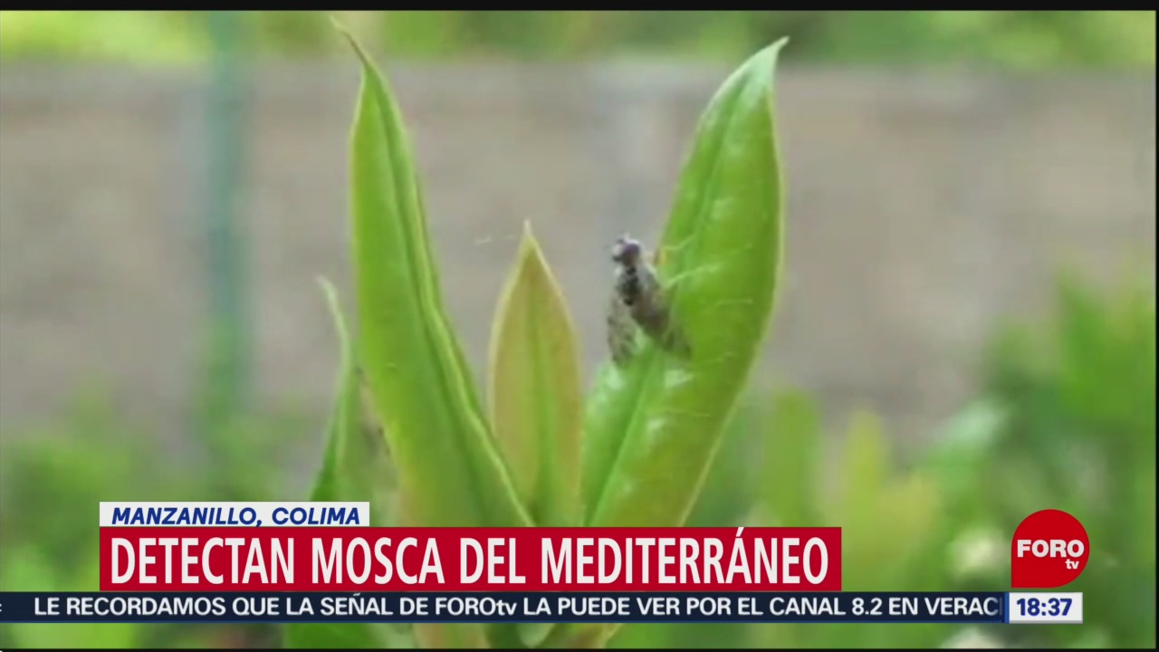 FOTO: Detectan mosca del mediterráneo en Colima