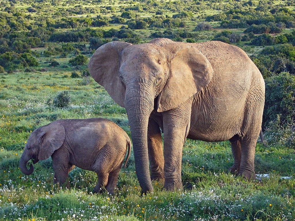 Elfante Asesina A Hombre En La India, Elefante, Asesina, Hombre, India, Elefante Mata A Persona