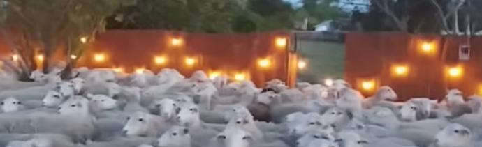 Foto Olvidó cerrar una reja y 200 ovejas invadieron su patio 1 mayo 2019