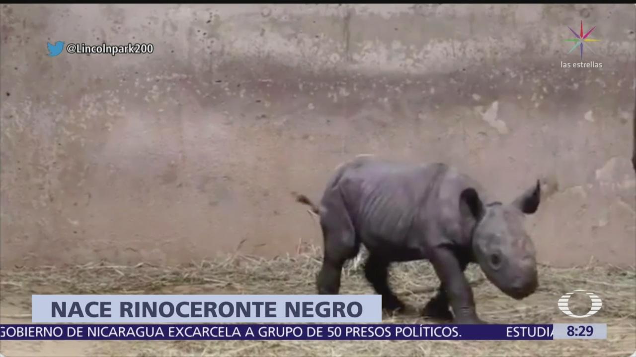 Nace rinoceronte negro en zoológico de Chicago