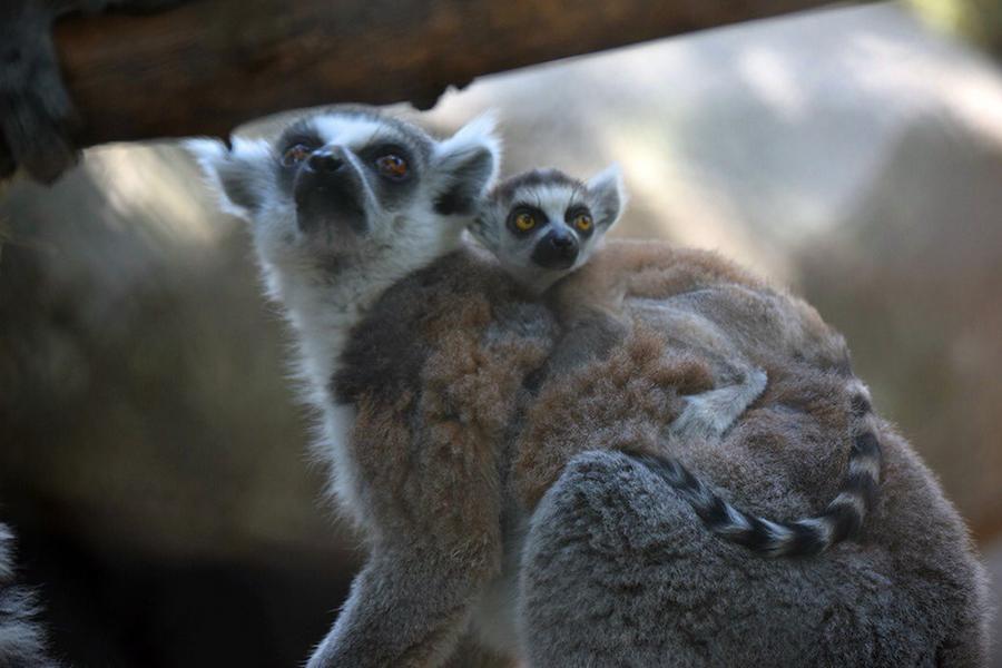 Foto Nacen crías de lémur en los zoológicos de Chapultepec y Aragón 24 mayo 2019