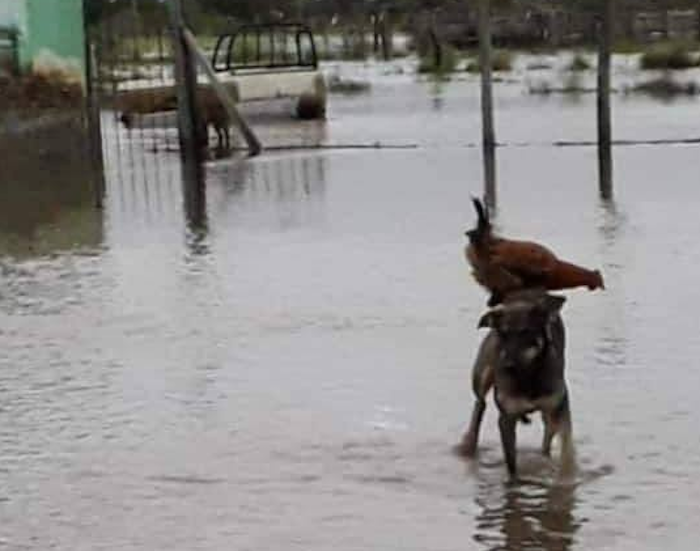Foto Perro rescata a gallina de inundación y se vuelve viral 9 mayo