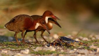 Foto Reaparece ave extinta hace más de 130 mil años 14 mayo 2019