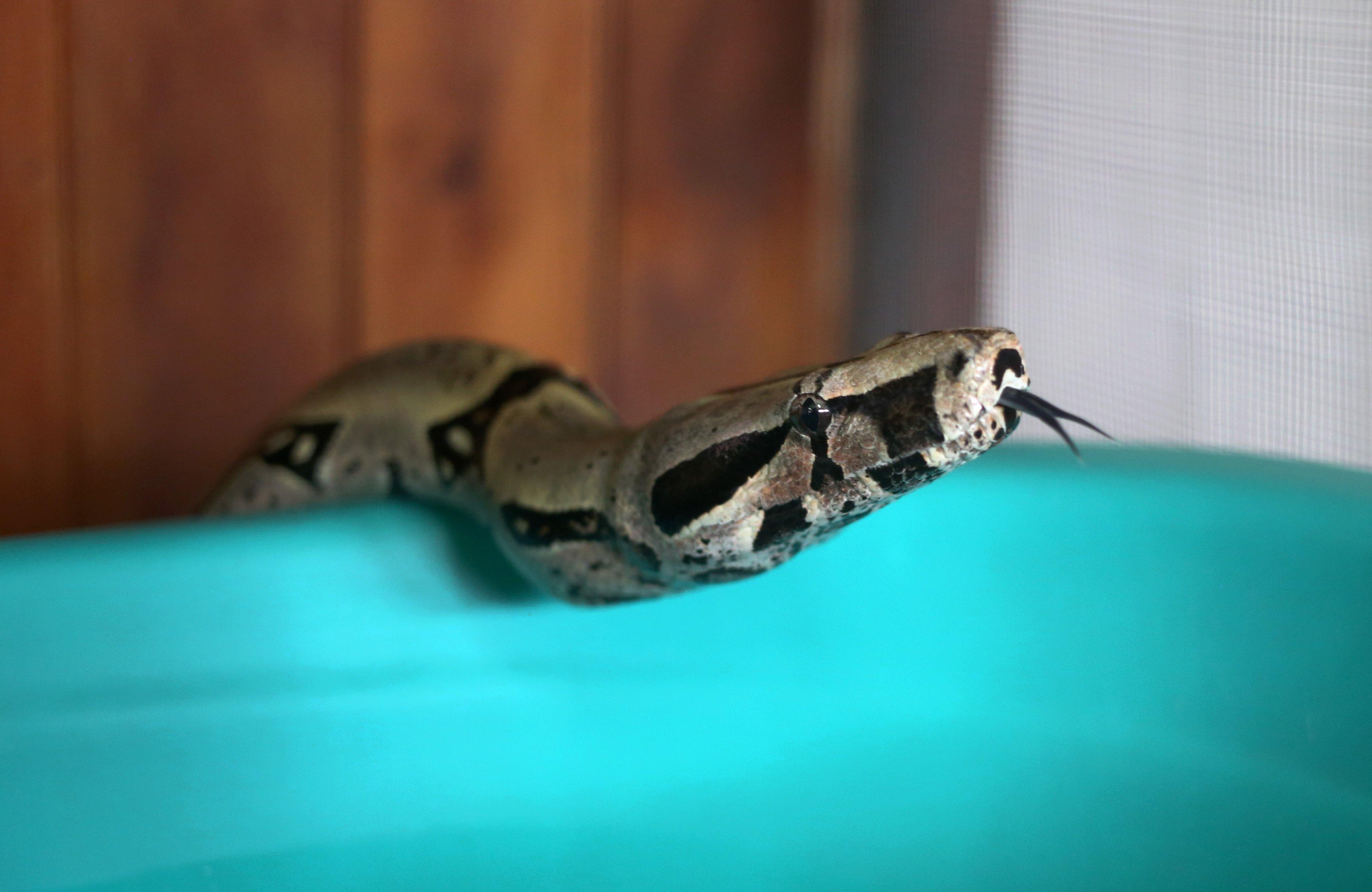 FOTO Serpientes causan más de 100 mil muertes cada año, dice OMS (AP 15 enero 2016 peru)