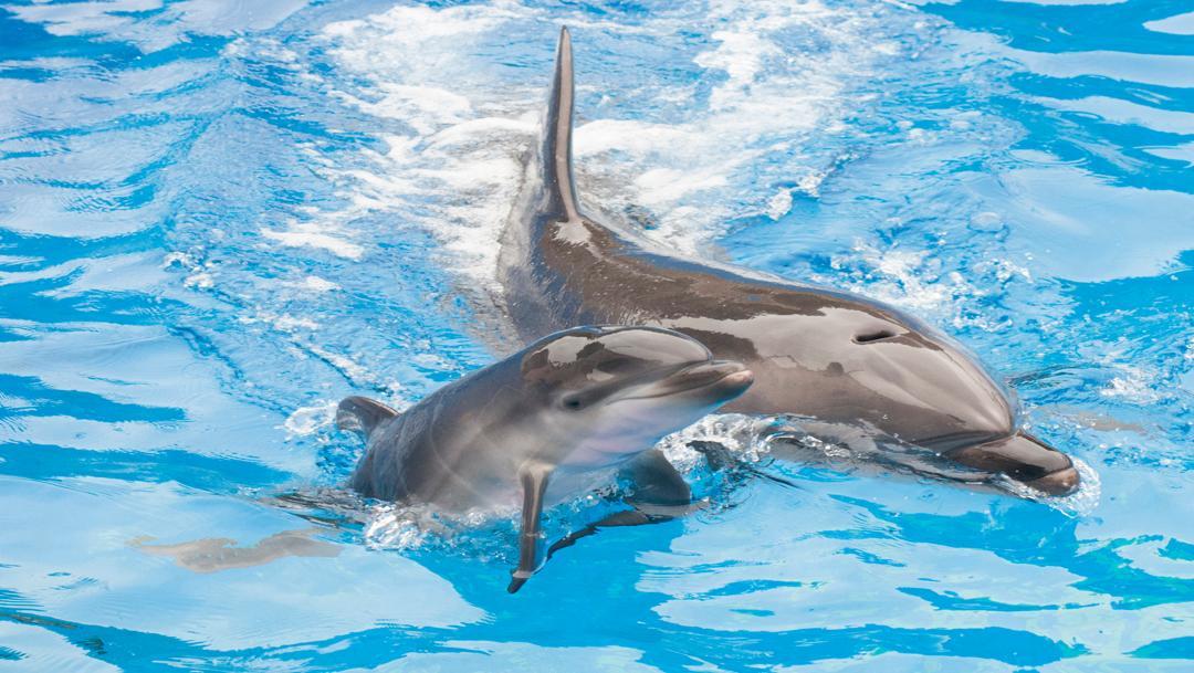 foto Mamá delfín lucha por mantener a flote a su bebé muerto 5 mayo 2019